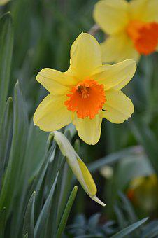 Daffodil, Spring, Bloom, Narcissus, Yellow, Nature