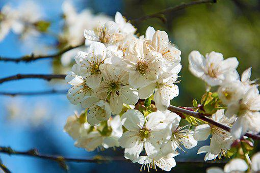 Cherry Blossoms, Flowers, Spring, Cherry, Tree, Nature
