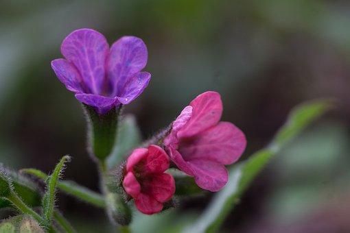 Pulmonaria Officinalis Moth, Pulmonaria Obscura, Spring