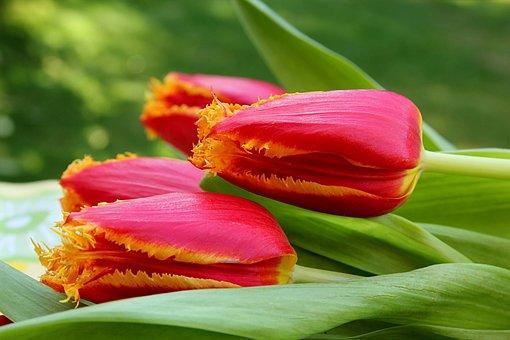 Tulip, Flower, Tulipa, Red Yellow, Lying, Spring