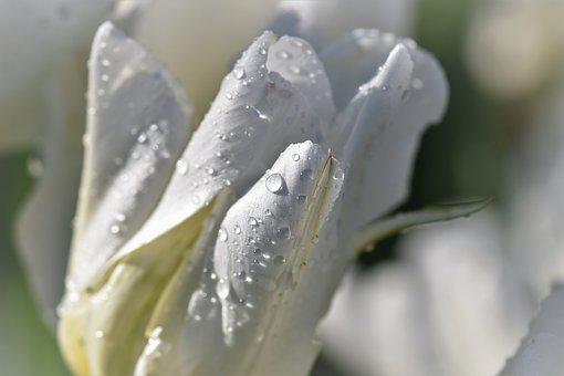 Tulip, White, Spring, Blossom, Bloom, Flowers, Decor