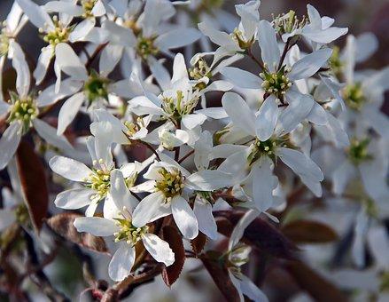 Amelanchier, White Flowers, Spring