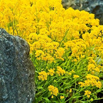 Rock Stone Cress, Stone Cress, Plant, Ground Cover