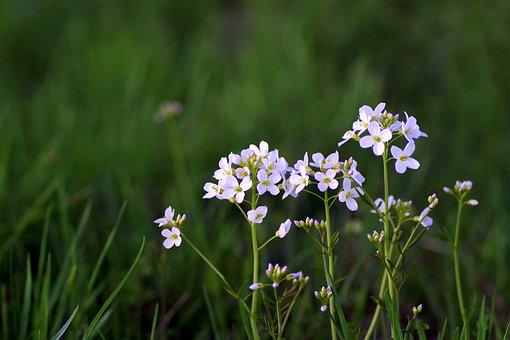 Warzucha, Flower, Spring, Tiny, Grasshopper, White