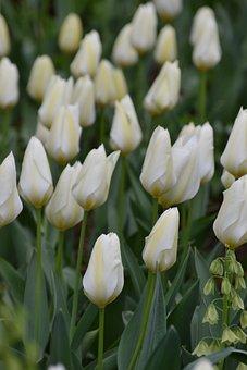 Tulip, White, White Flower, Spring, Spring Awakening
