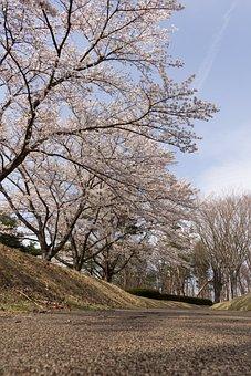 Flowers, Cherry, Japan, Spring, Sky, Promenade