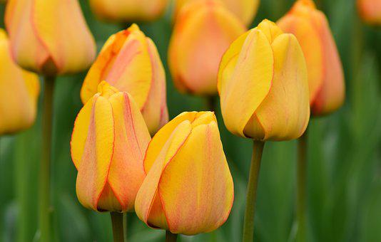 Tulips, Yellow, Spring, Flowers, Spring Flower