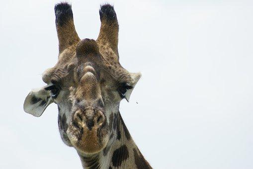 Giraffe, Close, Africa, Giraffe Head, Animal Portrait