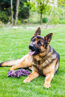 Dog, German Shepherd, Dogs, Animal, Is Watching