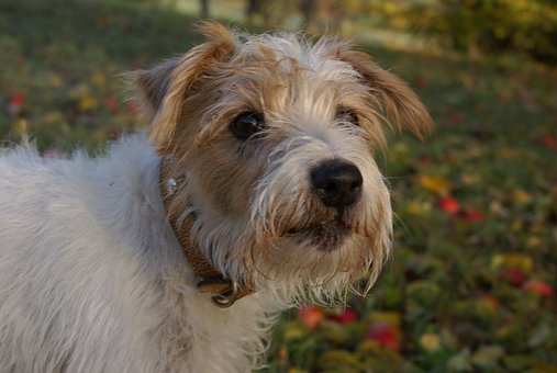 Autumn, Dog, Terrier, Jack Russell Terrier, Orchard