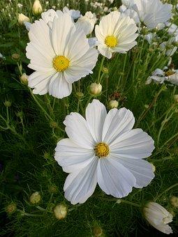 Cosmea, Flower, Plant, Blossom, Bloom, Summer, Garden