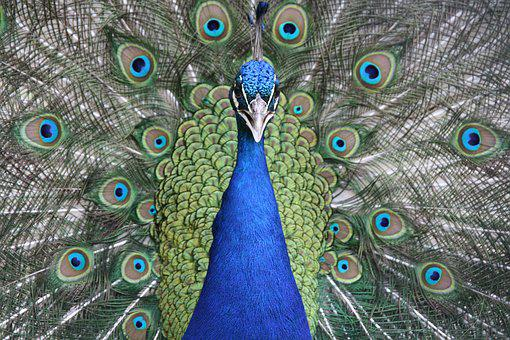 Peacock, Bird, Blue, Feather, Pattern, Colorful, Green