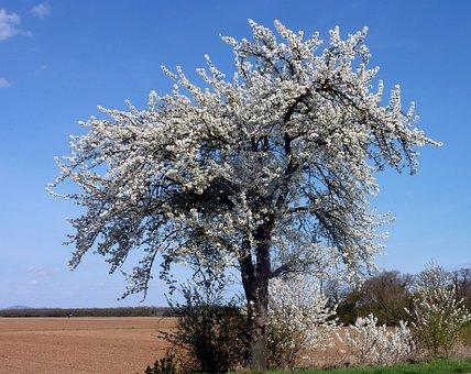 Tree, Cherry, Spring, Flowers Cherry, Flowering, Branch