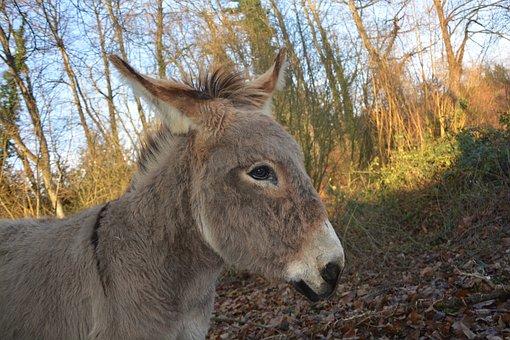 Donkey, Prairie, Light, Equine, Animal, Domestic Animal