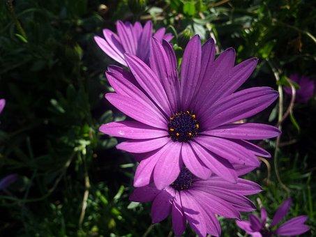 Purple Flower, Wild Flower, Flower Lilac, Flower