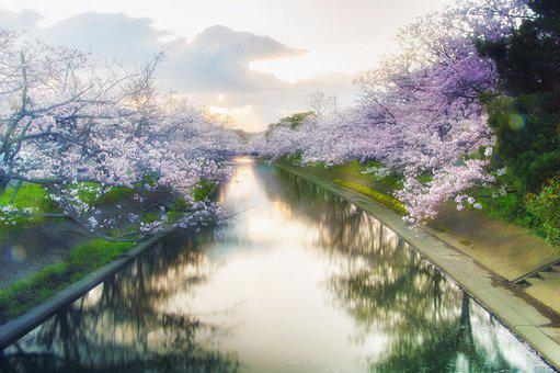 Japan, Cherry, Yoshino Cherry Tree, Flowers, Spring