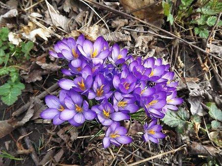 Plants, Flowers, Crocus, Violet, Spring, Nature, Forest