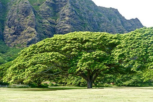 Tree, Monkeypod, Hawaii, Environment, Foliage