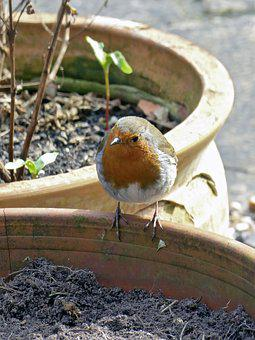 Robin, Bird, Nature, Animal, Redbreast, Garden