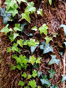 Ivy, Climber, Common Ivy, Hedera Helix, Tree