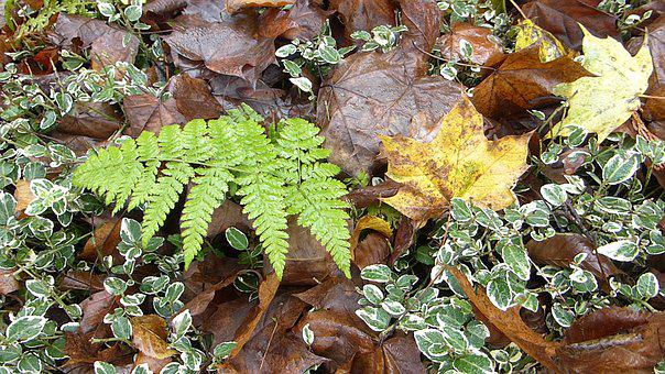 Plant, Autumn, Leaves, Forest Floor, Nature, Fern Plant