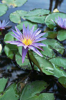 Flower, Lily, Water, Pond, Lotus, Green, Purple, Asia