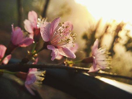 Cherry Blossom, Flower, Nice, Beauty, Flowers Bloom