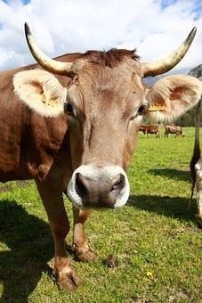 Bovino, Cow, Animals, Mountain, Livestock, Pasture