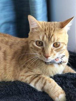 Cat, Tabby, Orange, Mammal, Pet, Kitten, Kitty, Feline