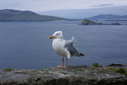 Ireland, Seagull, Bird, Coast, Animal, Sea, Distant