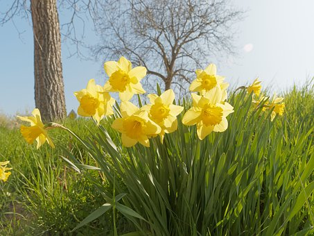 Daffodils, Narcissus, Flowers, Spring, Yellow Flowers