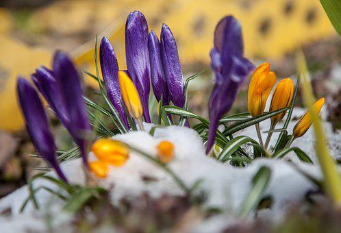 Flowers, Crocuses, Spring, Snow, Greens, Purple, Blue