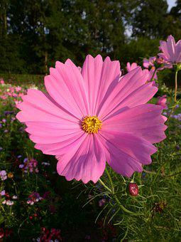 Cosmea, Pink, Blossom, Bloom, Flower, Summer, Nature