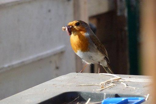 Robin, Feeding Time, Nesting, Garden, Sunshine