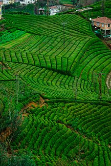 Tea, Tea Garden, Green, Plant, Rize, Landscape, Turkey