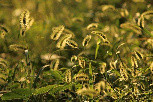 The Dog's Tail Grass, Sunshine, Autumn
