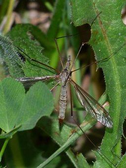 Típula, Giant Mosquito, Tipúlido, Strange Insect