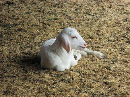 Animal, Goat, Nature, Animals, Field, Livestock, White