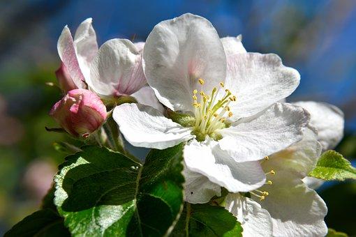 Cherry Blossom, Blossom, Bloom, White, Cherry, Nature