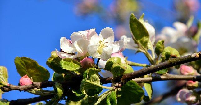 Blossom, Bloom, Apple Blossom, Apple Tree, Spring