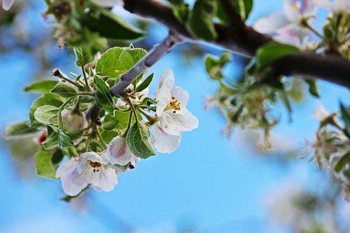 Apple Blossom, Spring, Nature, Blossom, Bloom
