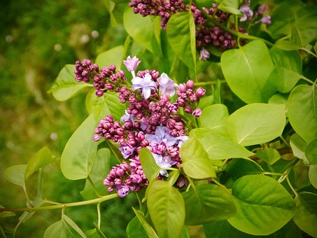 Lilac, Spring, Blossom, Purple, Mother's Day, Fresh