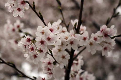 Cherry Blossom, Sakura, Spring, Wood, Flower Tree