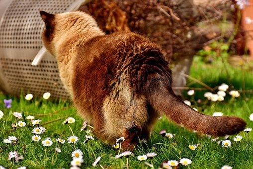 British Shorthair, Curious, Cat, Mieze, Thoroughbred