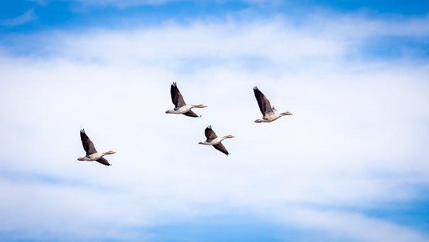 Goose, Grey, Flight, Flying, Bird, Isolated, Wild