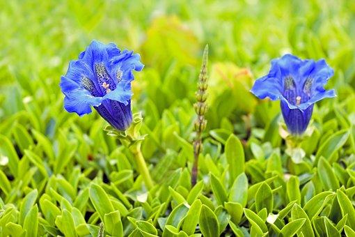 Gentian, Flower, Blossom, Bloom, Blue, Alpine Flower