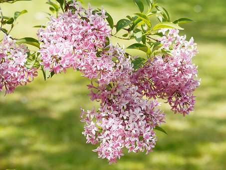Flowers, Lilac, Nature, Spring, Purple, White, Shrub