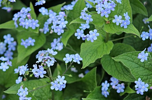 Forget Me Not, Flowers, Blue, Pointed Flower, Flower