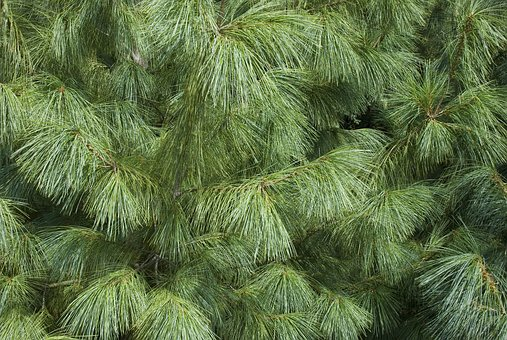 Tree, Conifer, Needle, Iglak, Plants, Nature, Pine