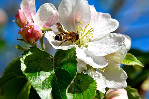 Cherry Blossom, Bee, Insect, Pollination, Blossom